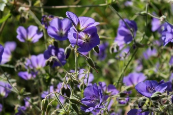 Герань луговая Джонсонс Блю (Geranium pratense Johnson's Blue)